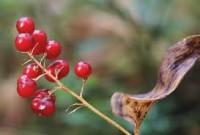 Майник двулистный ягоды
