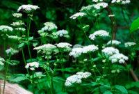 Цветы сныти